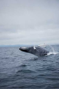 While fishing with Big Blue Charters, guests viewed this whale, close to the boat.